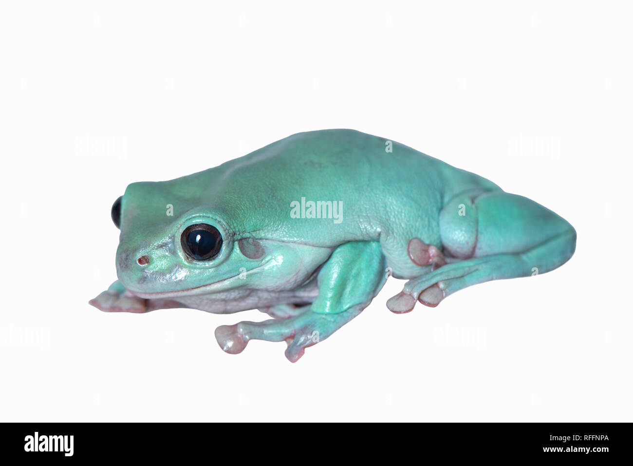 White's tree frog - Stock Image