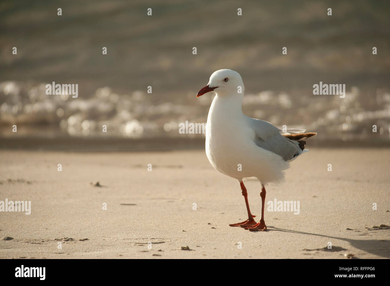 Seagull on a beach, Recherche Bay, Tasmania, Australia Stock Photo