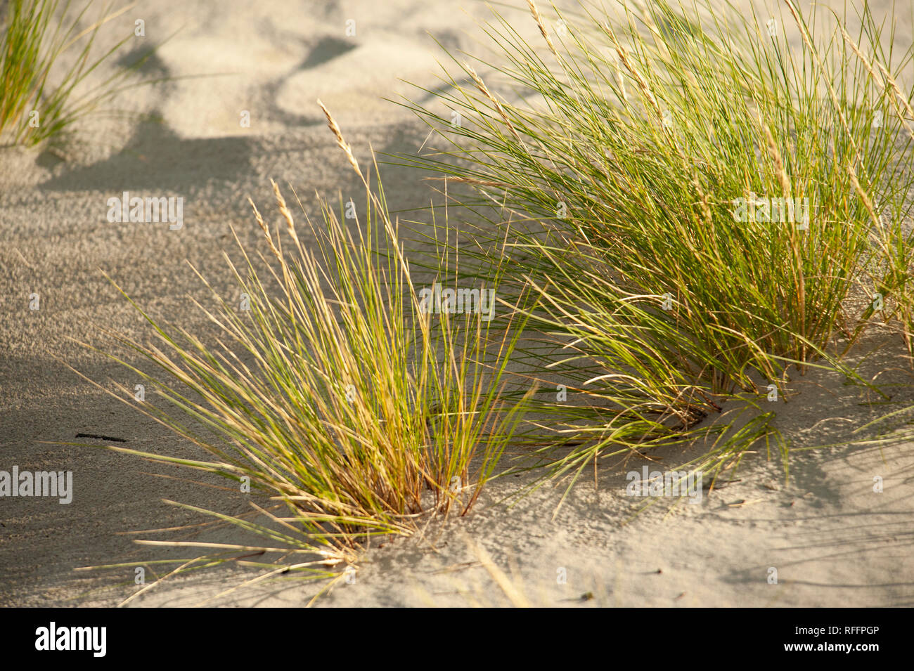 Tuft of grass growing in sand Stock Photo