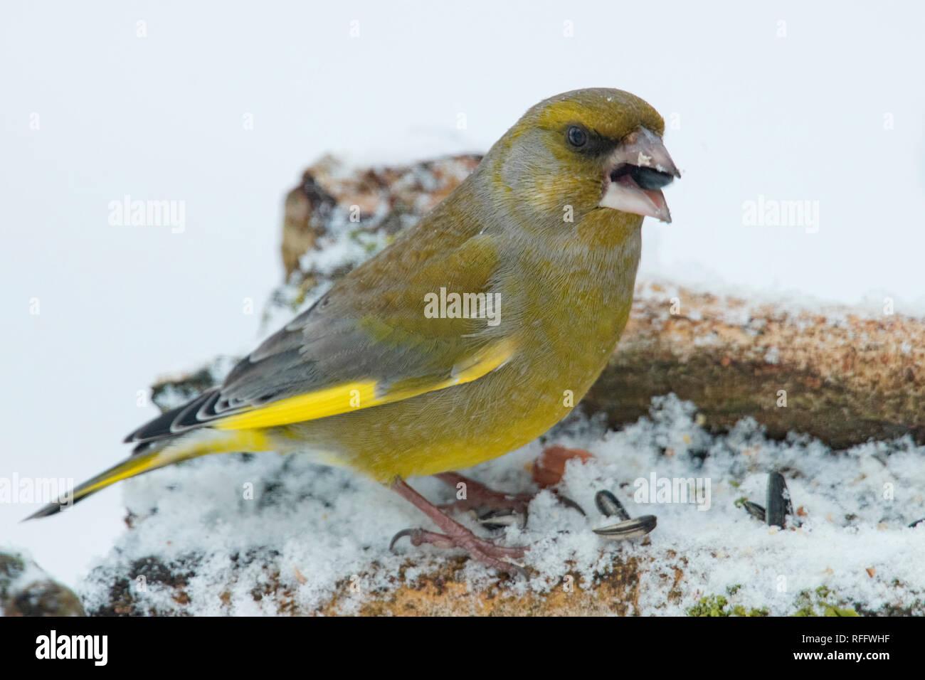 european greenfinch, (Chloris chloris) - Stock Image