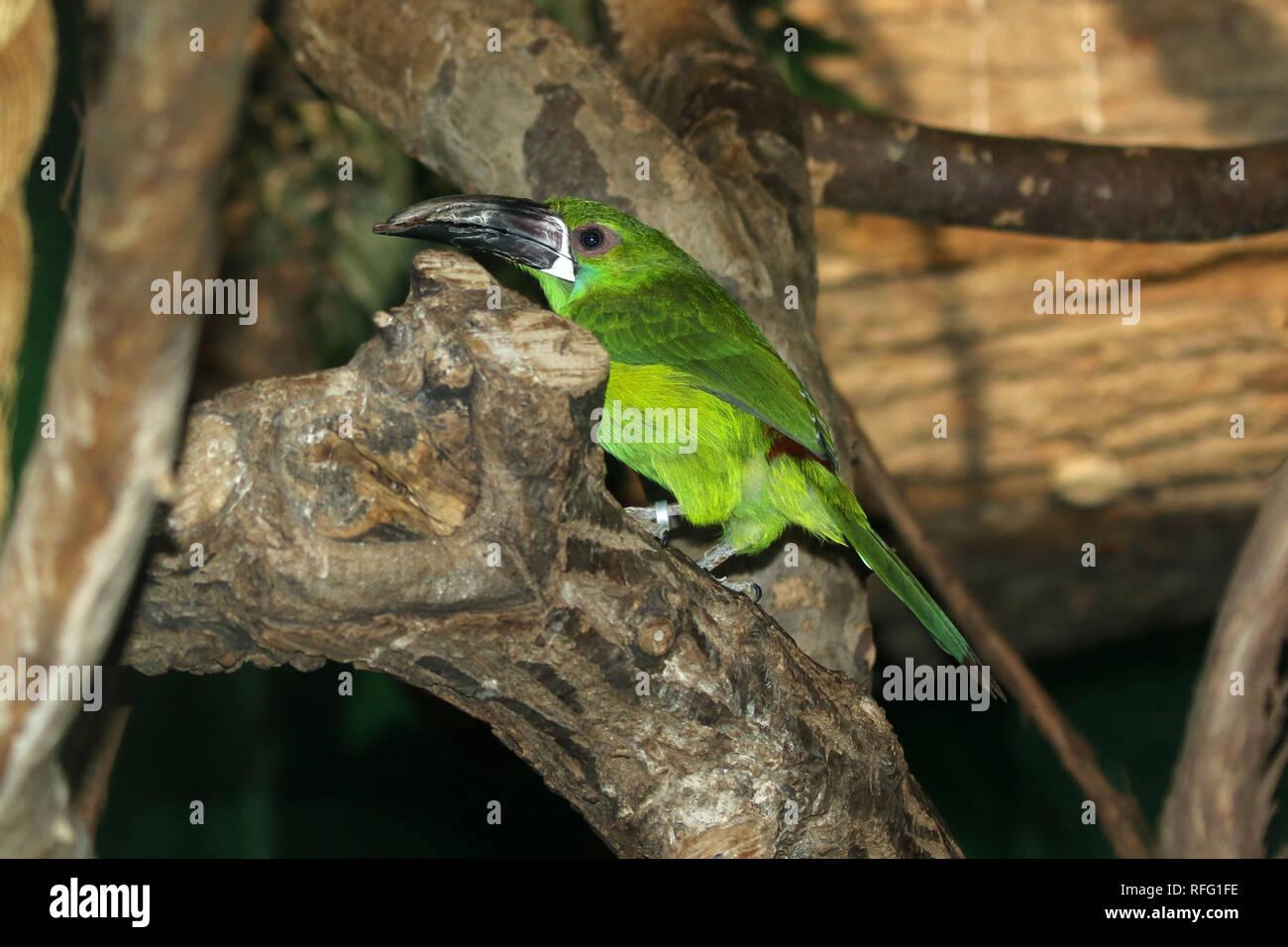Green toucan Stock Photo