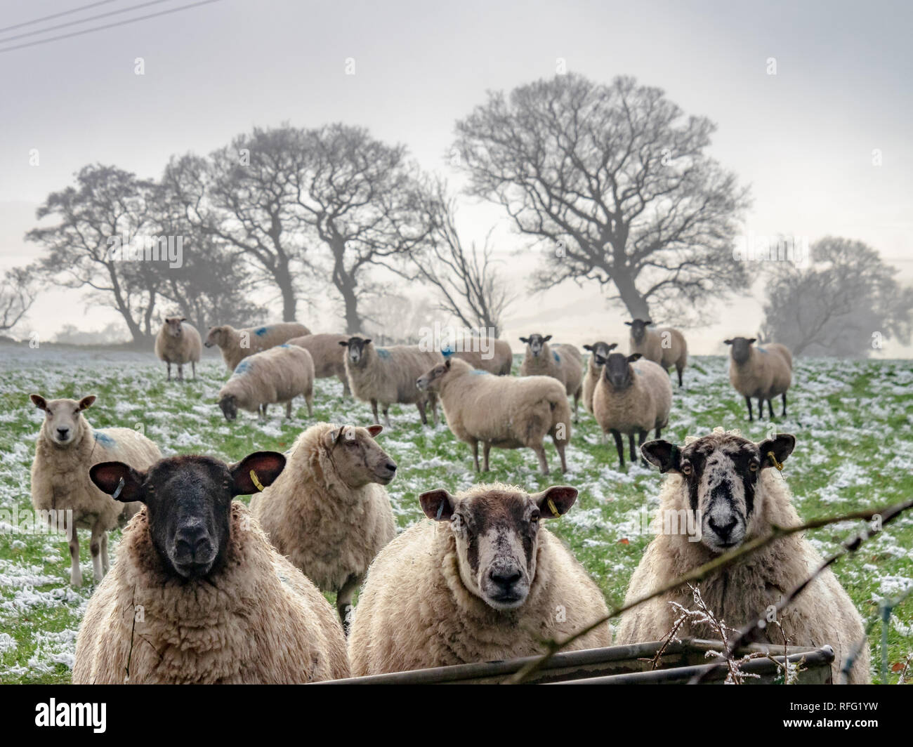 Sheep lined up for a photograph (feeding), Staffordshire Moorlands, UK - Stock Image