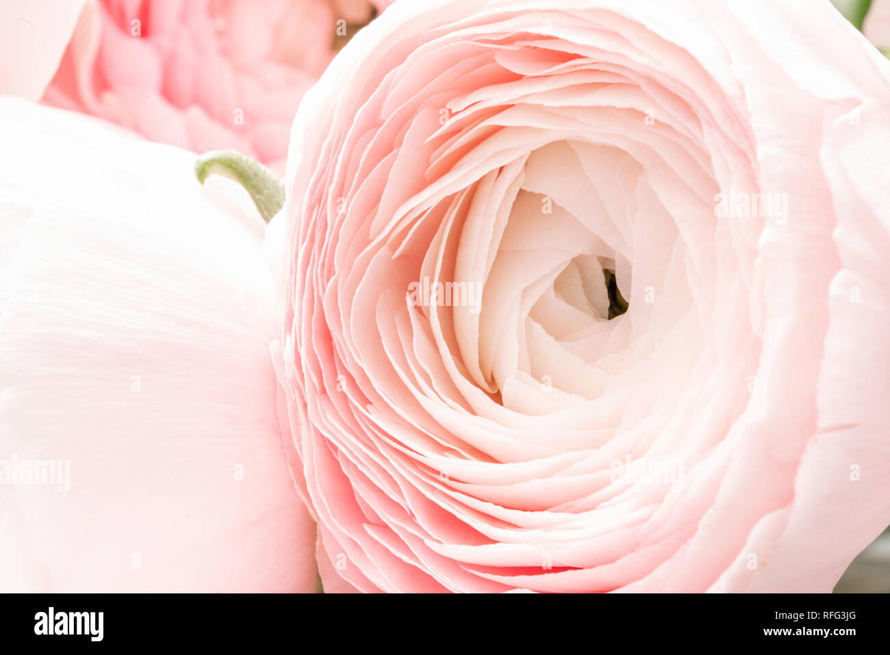 Persian Buttercup In Glass Vases Bunch Pale Pink Ranunculus