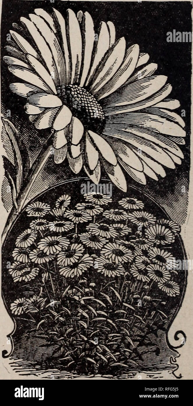 . The Geo. H. Mellen Co. : 1900. Nursery stock Ohio Springfield Catalogs; Bulbs (Plants) Catalogs; Flowers Seeds Catalogs; Plants, Ornamental Catalogs; Fruit Catalogs. Blue Daisy. BLUE DAISY. (Agathea Celestis.) The flowers are Daisy shaped, of a delicate light blue, with a yellow disc. It blooms in great profusion from November to April, and makes a novel and pleasing feature in any collection of plants. 10c; 3 for 25c. PRinULA OBCONICA. Always in Bloom. This is a charming new plant for winter. In fact we know of none that is better adapted to home culture than this one. It is not susceptible - Stock Image