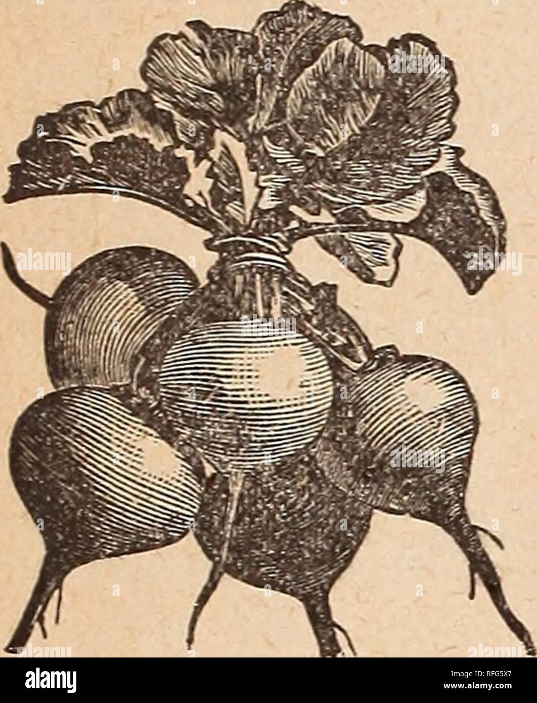 . Annual catalogue : tested and reliable garden, field and flower seeds. Nursery stock Ohio Cincinnati Catalogs; Vegetables Seeds Catalogs; Grasses Seeds Catalogs; Flowers Catalogs; Agricultural implements Catalogs. 10 J. CHAS. McCTJLLOUGH, Seedsman,. RADISH, Continued. Bri^hest l.ong' Scarlet—It is very early, maturing in 20 to 25 days, the flesh crisp and tender, excellent for home garden and partic- ularly desirable for the market, as it sells quickly because of its fine color and form. 10 cts. oz.; 20 cts. Jeave<l—Does not run to seed so readily as the other. 15 cls. % lb.; 45 cts. lb.  Stock Photo