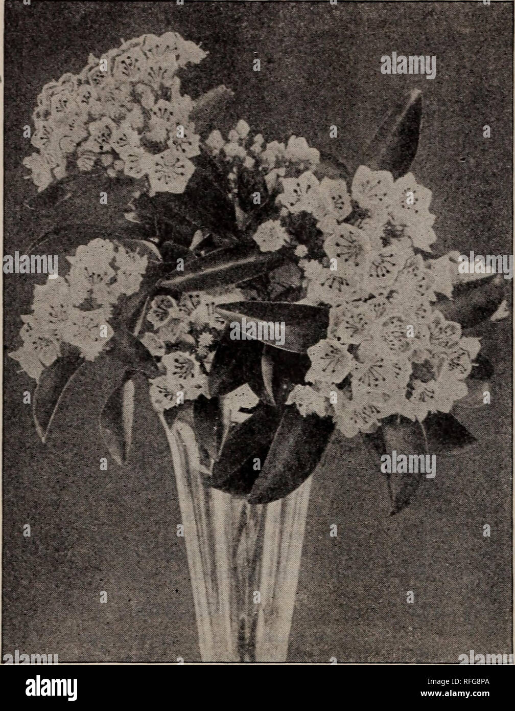 . Descriptive catalogue : trees, shrubs and plants. Nursery stock, New York (State), New York, Catalogs; Trees, Seedlings, Catalogs; Shrubs, Catalogs; Flowers, Catalogs; Fruit, Catalogs. 36 KEENE & FOULK, NURSERYMEN. Kalmia latifolia. Euonymus Japonicum argenteus. A variety with variegated foliage, to be treated like the preceding one. 50 cts. E. radicans. Creeping Euonymus. (4 to 6 ft.) A glossy, dark-leaved vine, or it will form a spreading shrub where it cannot climb. Valuable for covering wood, to which it clings. An invalu- able plant for covering bare spots in borders. 25 cts. each,  Stock Photo