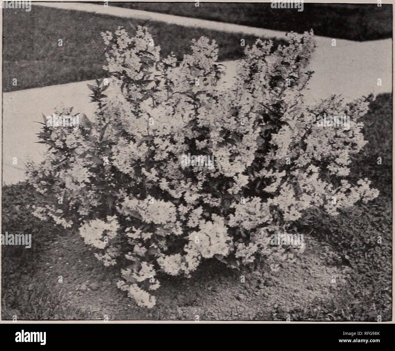 Zirngiebels New Giant Pansies Nursery Stock New York State