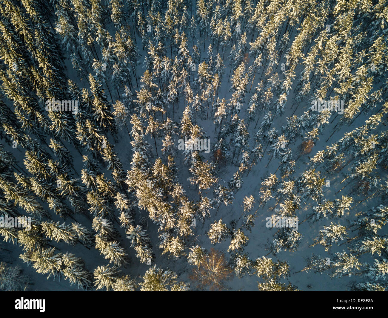 Aerial view of snowy treetops of spruces and pines in boreal coniferous forest. - Stock Image