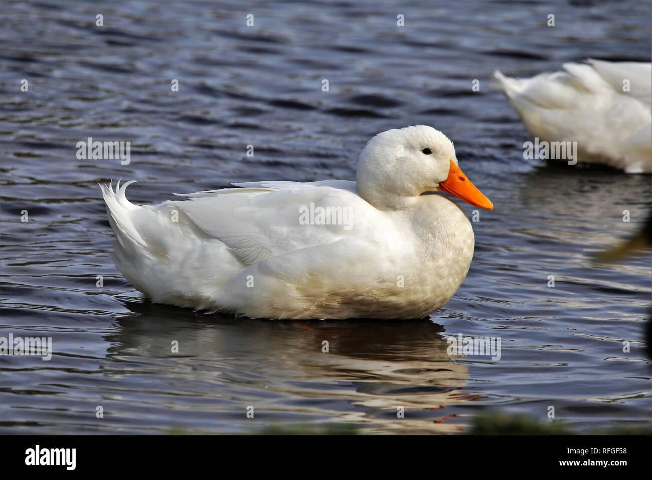 Beautiful American Pekin Duck - Stock Image