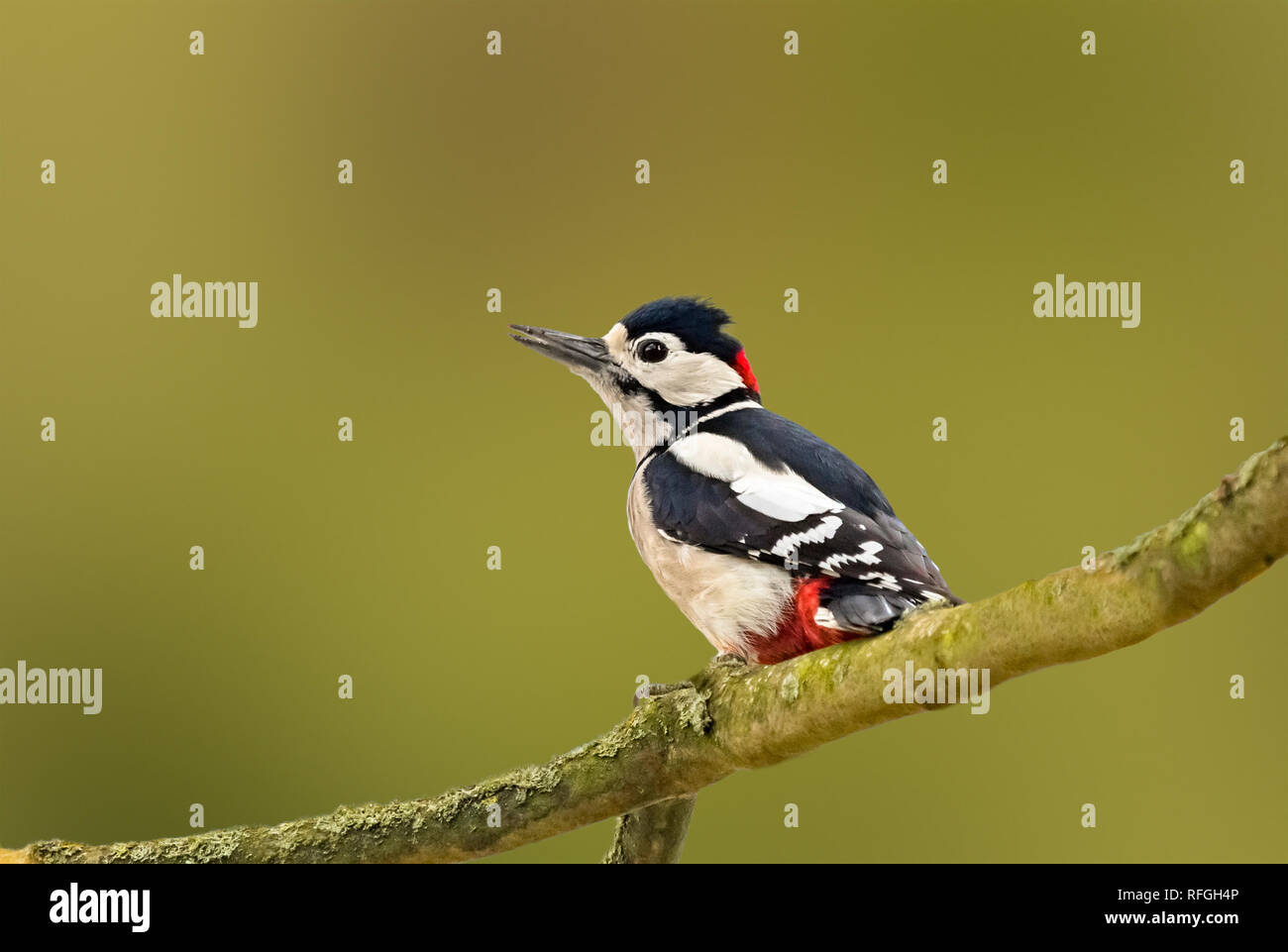 Male Great Spotted Woodpecker (Dendrocopos major) perched on a tree branch in Autumn in Arundel, West Sussex, England, UK. With copy space. Stock Photo