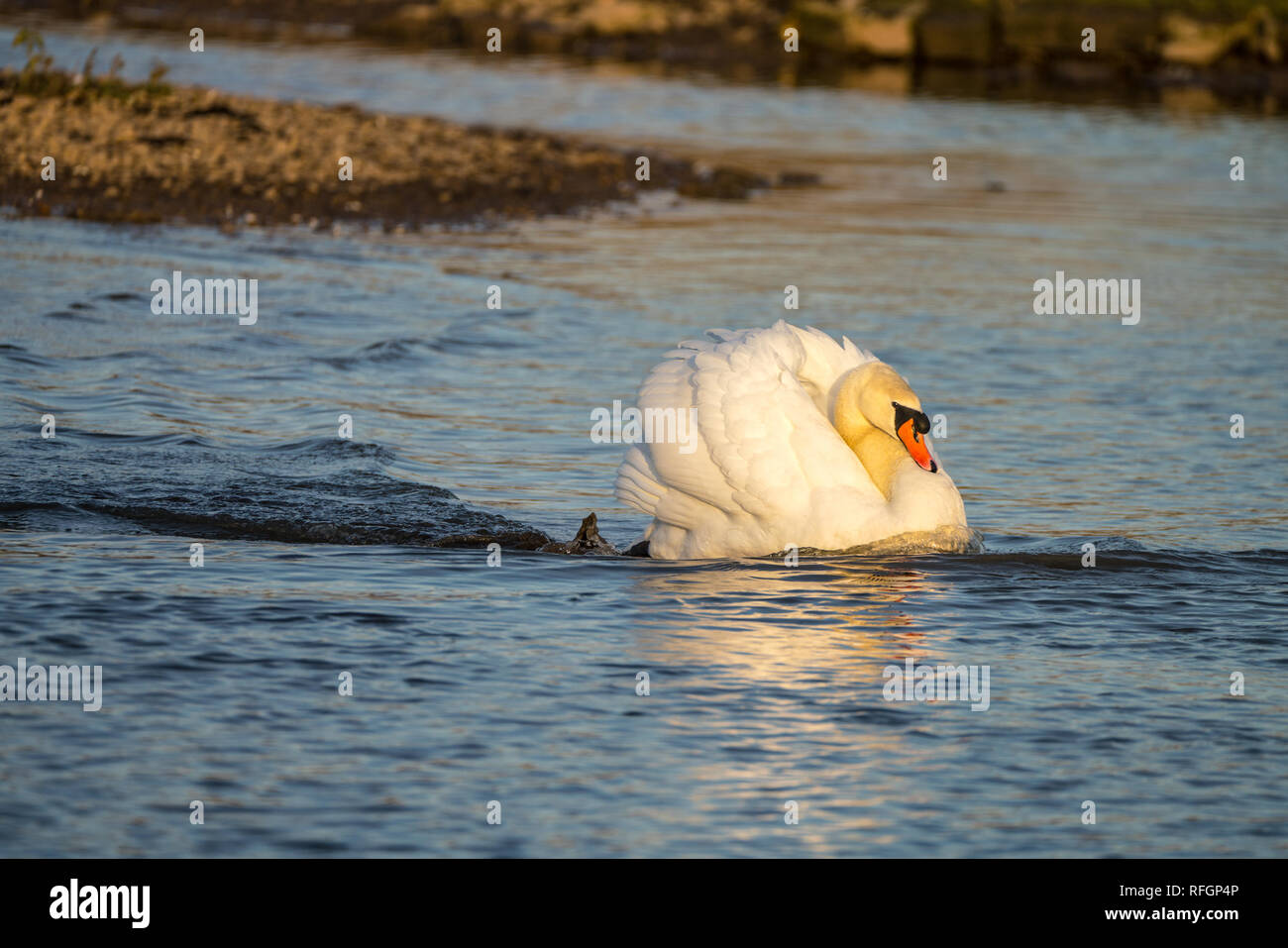 Mute Swan (Cygnus olor) in threat pose chasing a rival and racing across lake at speed. Side illumination by low sun. - Stock Image