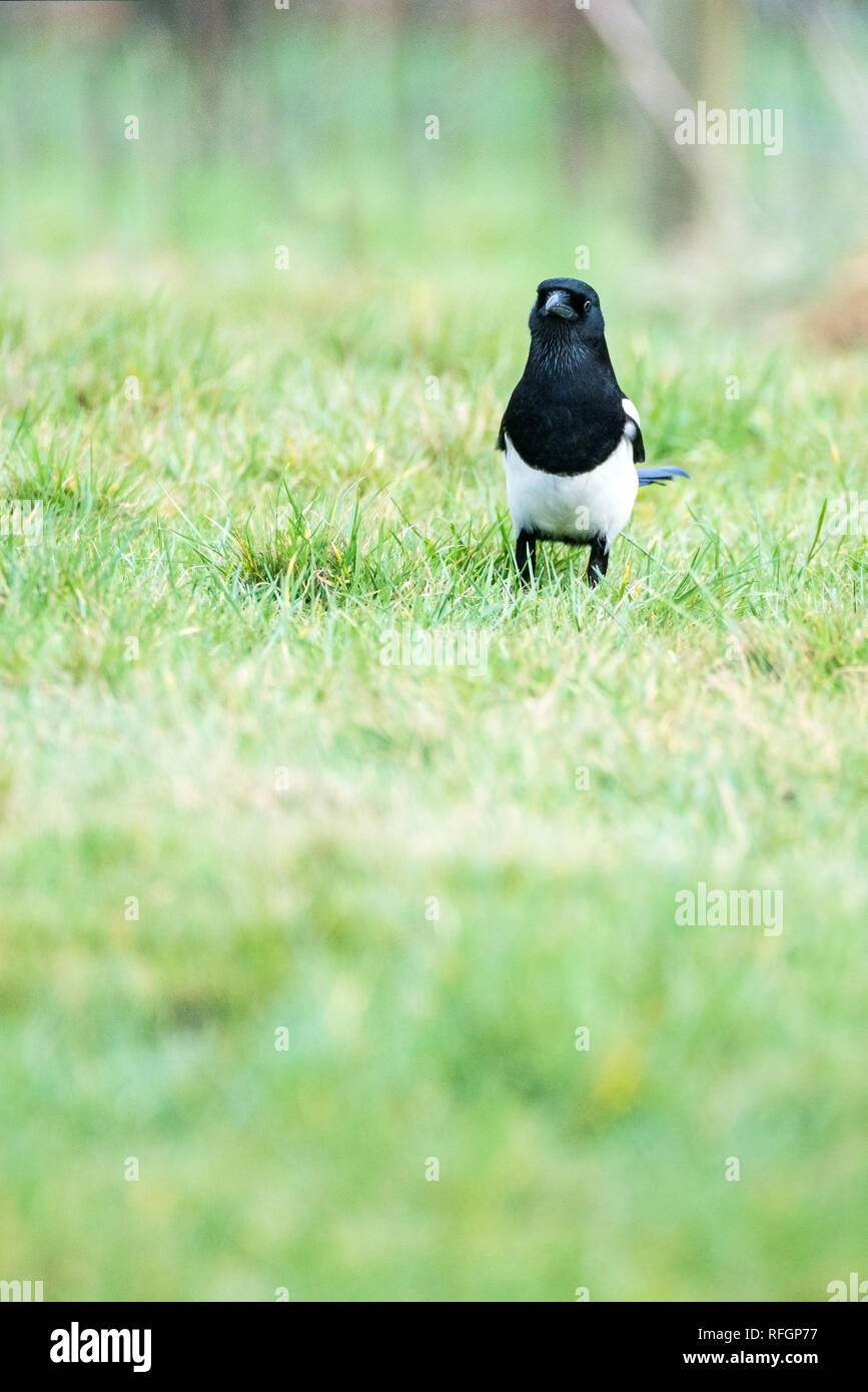Close up of Magpie (Pica pica) on grass facing camera - Stock Image
