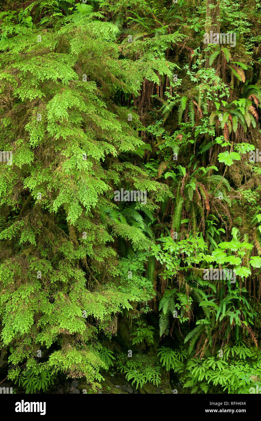 The verdant understory foliage of an old-growth temperate rainforest; Quinault Rainforest Trail, Olympic National Forest, Washington. - Stock Image