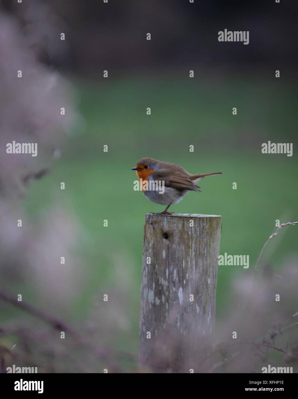 a single European robin sat on a fence post - Stock Image