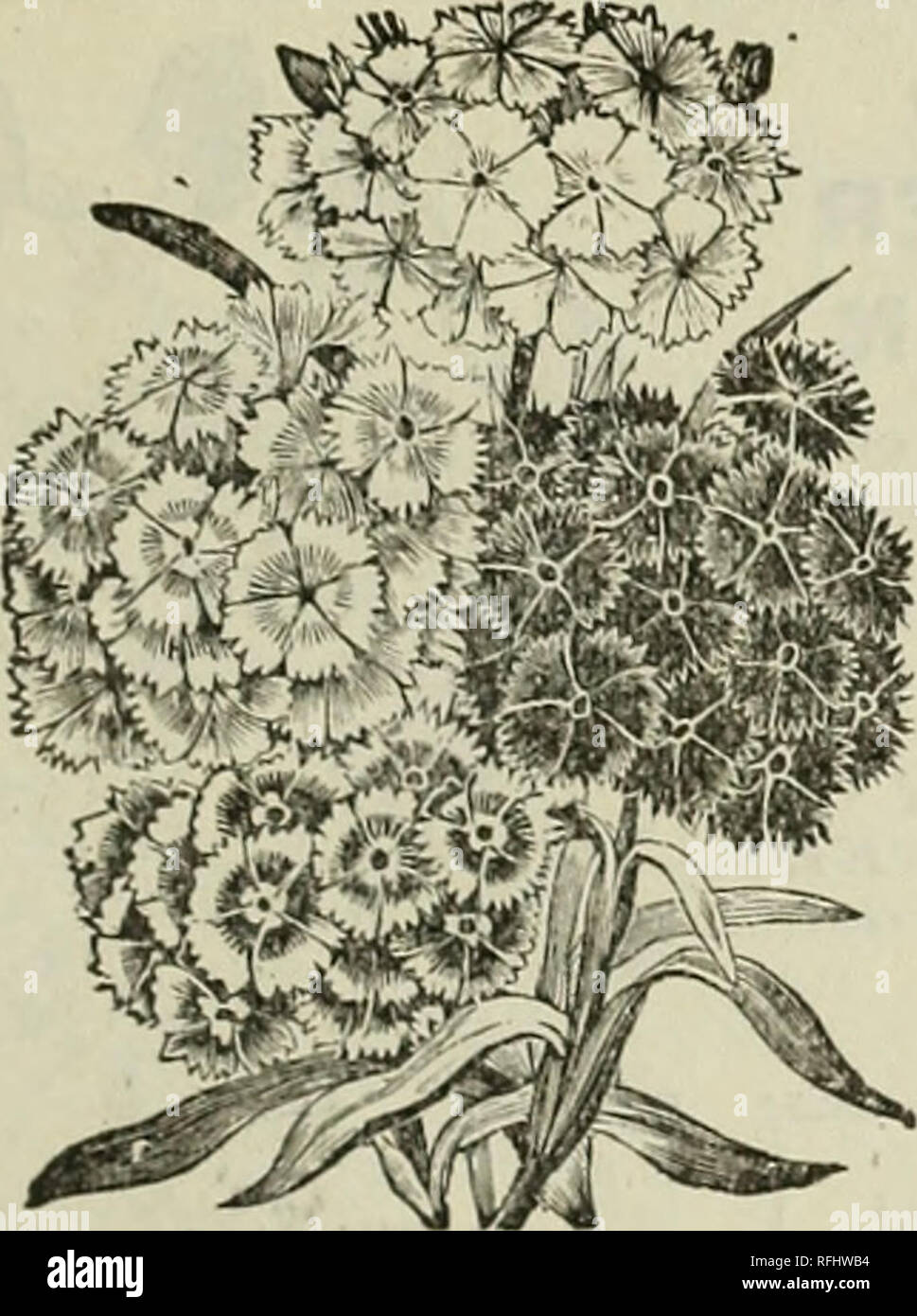 . Flowers 1900 : Crocker's flower seeds. Nursery stock Kansas Catalogs; Flowers Seeds Catalogs. FLOWER SEED SPECIALISTS, Minneapolis, Minn. 31. SWEET WILLIAM-Dianthus Barbatus. SWEET WILLEAM. Dianthus Barbatus. An old garden favorite. It has been for years an unfailing favorite and cannot be surpassed in the grand display it makes throughout the latter part of summer and autumn. The plants bloom for several successive years, but better results can be obtained by sowing the seeds in the open ground early each spring, as it has been found that young plants are much better bloomers and in all way - Stock Image