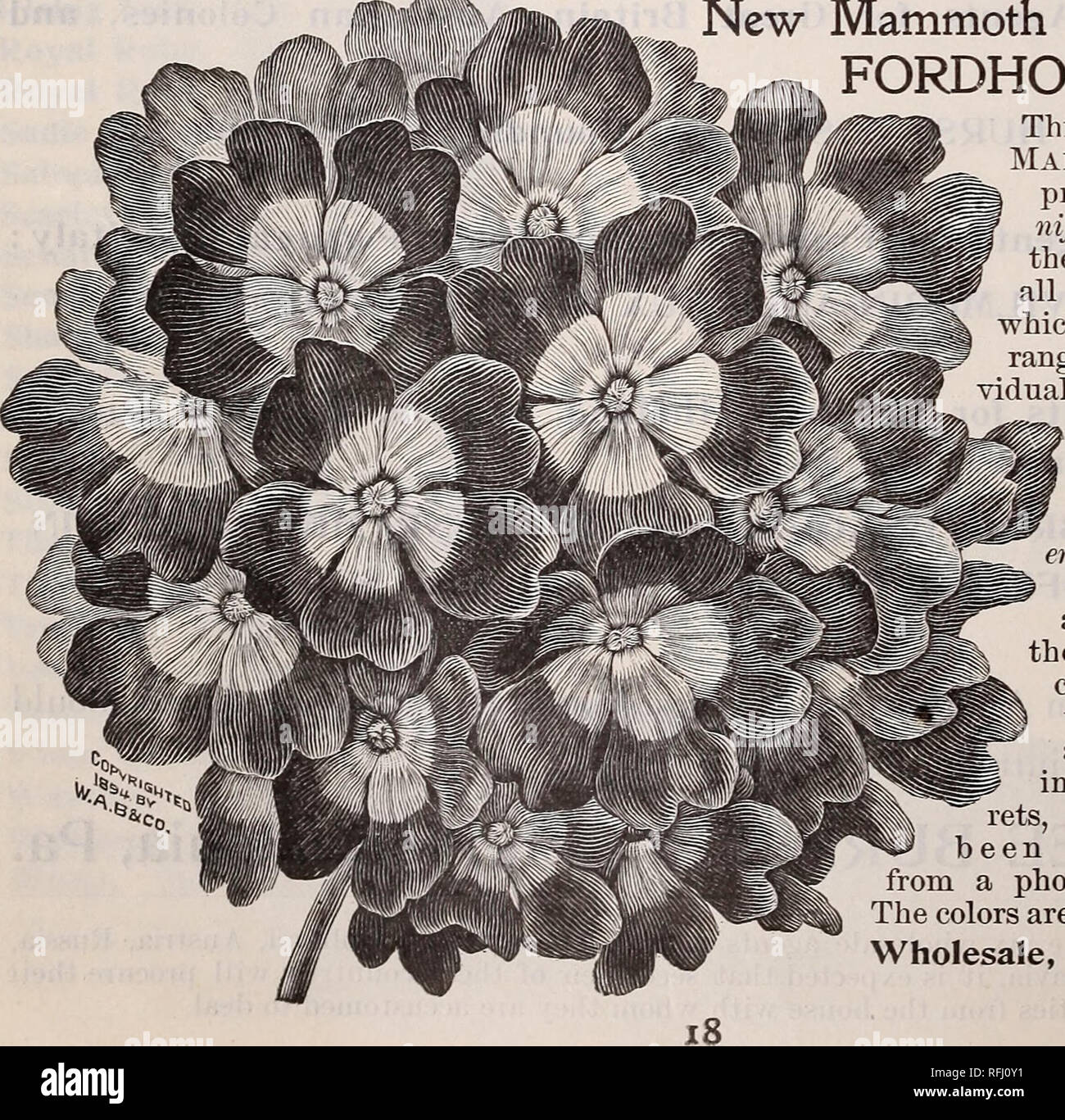 """. Burpee's sweet peas for 1900 : preliminary wholesale prices also of vegetable seeds. Nurseries (Horticulture) Pennsylvania Philadelphia Catalogs; Plants, Ornamental Catalogs; Flowers Seeds Catalogs; Vegetables Seeds Catalogs. HHP BURPEE'S """" SUNLIGHT """" NASTURTIUM,—Niltitral-Size flower. """" MOONLIGHT"""" NASTURTIUM. 2S*£S**5gg?£IoL™k£*$SI exquisite pale-straw color. It is as beautifully shaped as its brilliant companion, and has the same lovely crinkled effect in the petals. Wholesale, $1.25 per lb. Climbing Nasturtiums—HYBRIDS OF MADAME GUNTER. We have harvested, this season,  - Stock Image"""