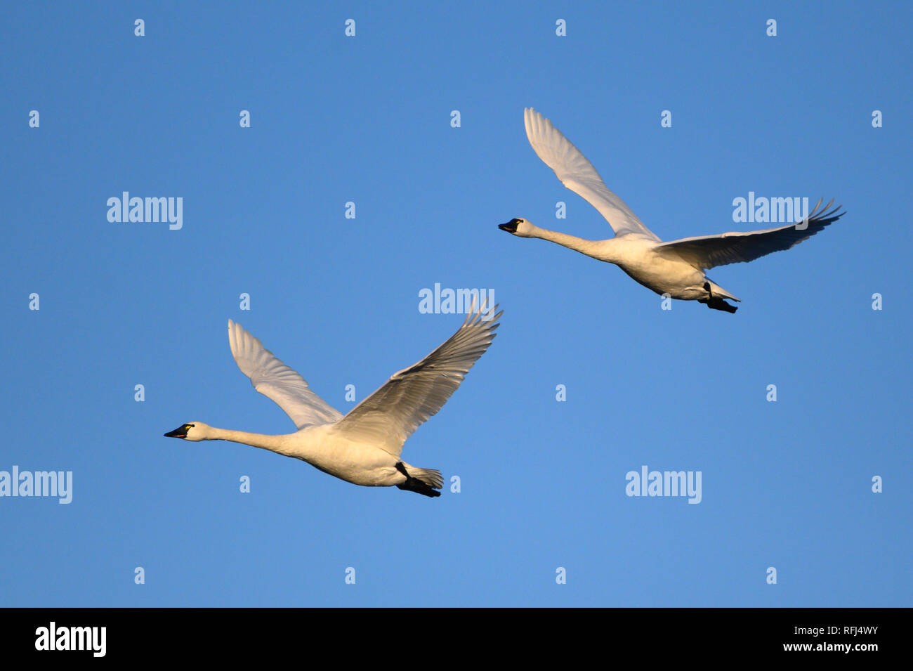 Tundra Swans at William L. Finley National Wildlife Refuge, Willamette Valley, Oregon. - Stock Image