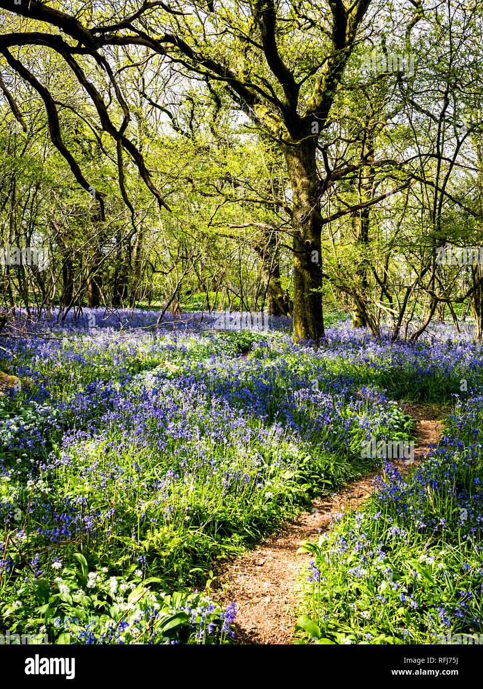 This is bluebell display in the woodlands alongside Garston Wood in Dorset. - Stock Image