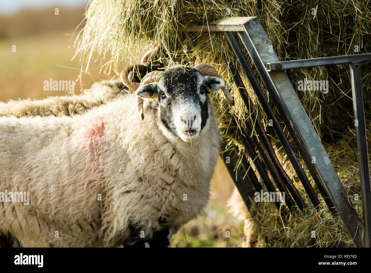 Swaledale Ewe in Winter. Open moorland hill farming in the Yorkshire Dales, England, UK.  Swaledale sheep are a common breed of sheep in North Yorks - Stock Image