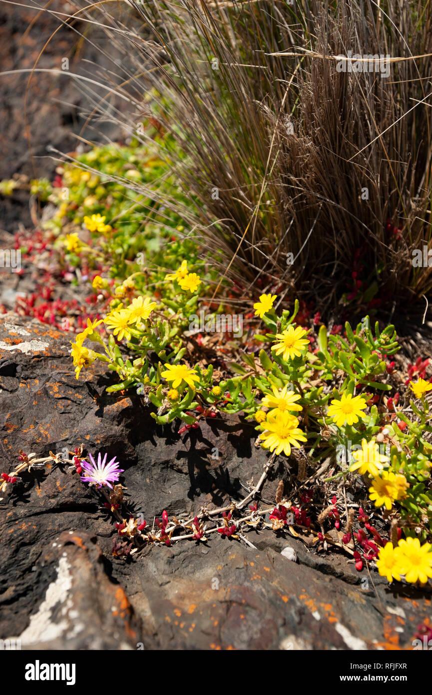 Coastal vegetation, Tasmania, Australia - Stock Image