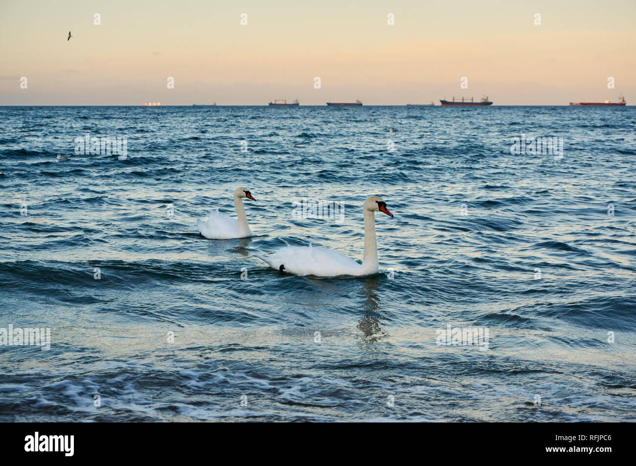 Two swans in a warm evening light swimming in the Baltic sea Stock Photo
