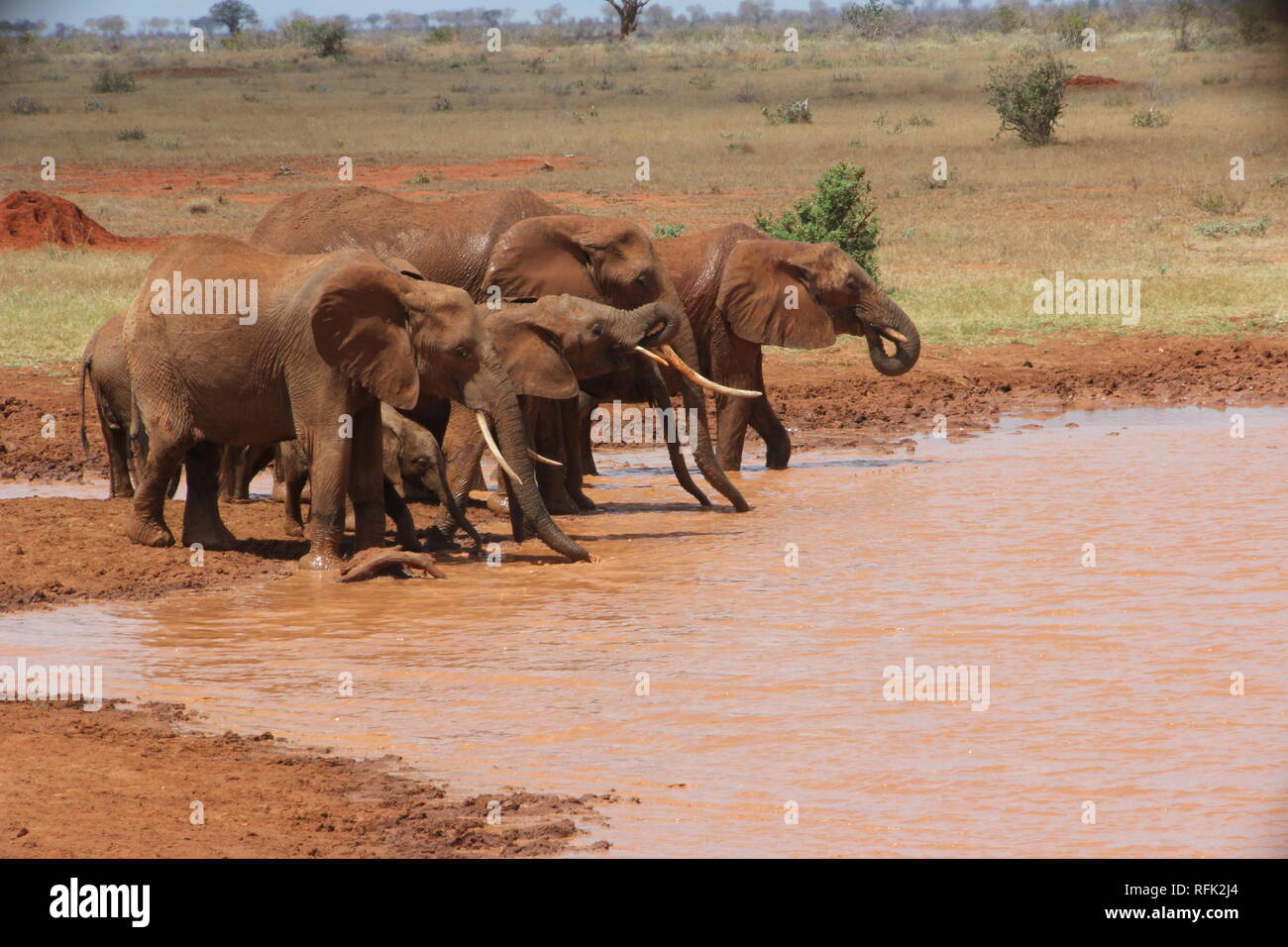 A family of African Elephants (Loxodonta africana) drinking  in a savannah pond at Tsavo East National Park, Kenya. - Stock Image