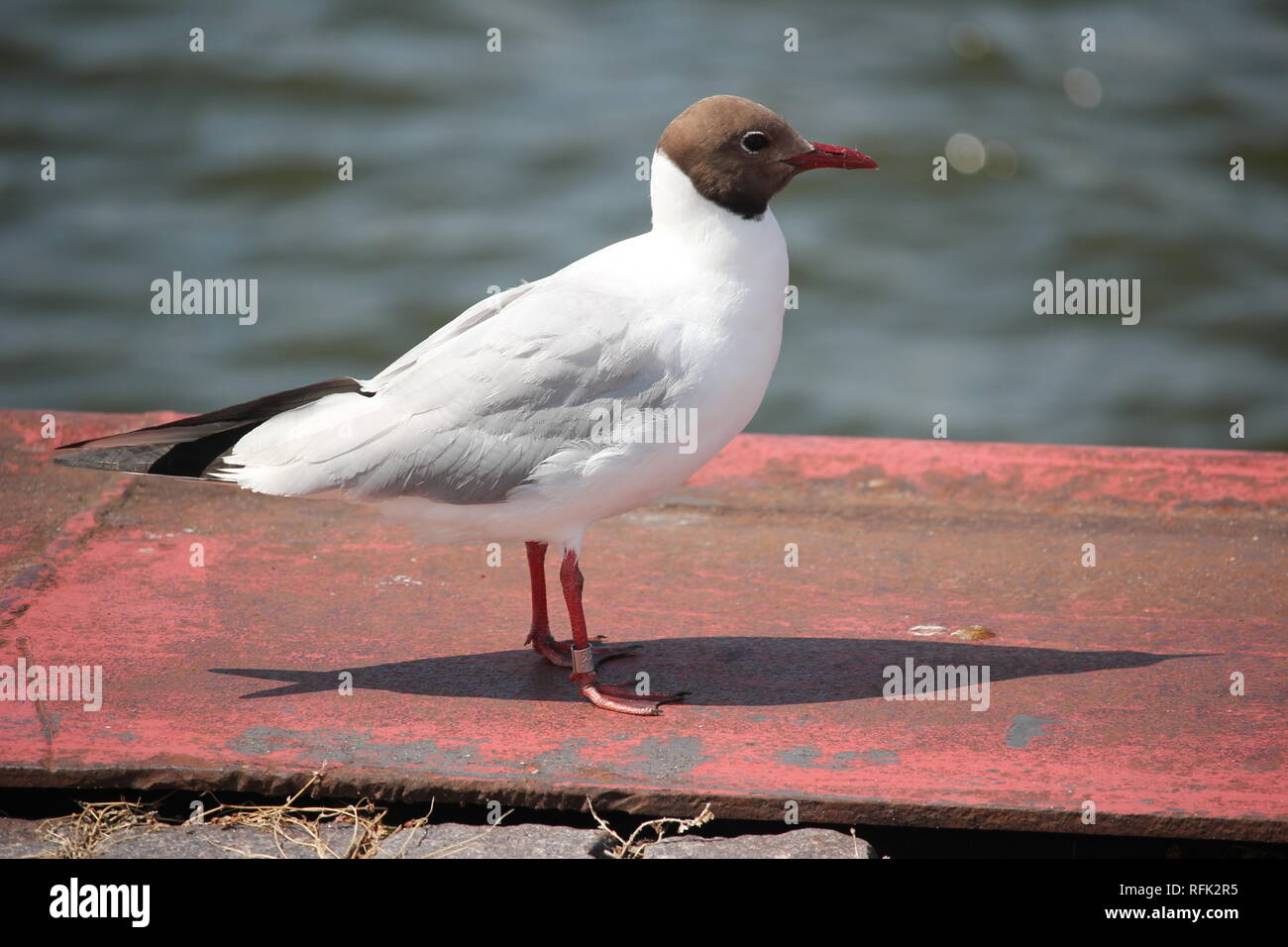 Adult Black-headed-Gull (Larus ridibundus) in the harbour area of Ribnitz-Damgarten at the Baltic Sea coast of Germany. - Stock Image