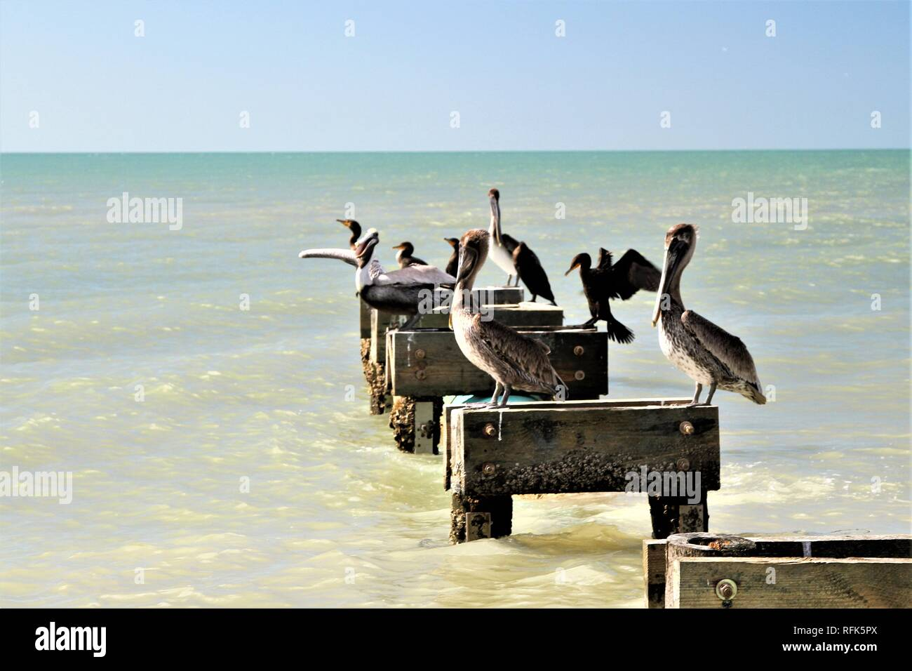 Pelicans and birds sitting on wood perches on the ocean - Stock Image