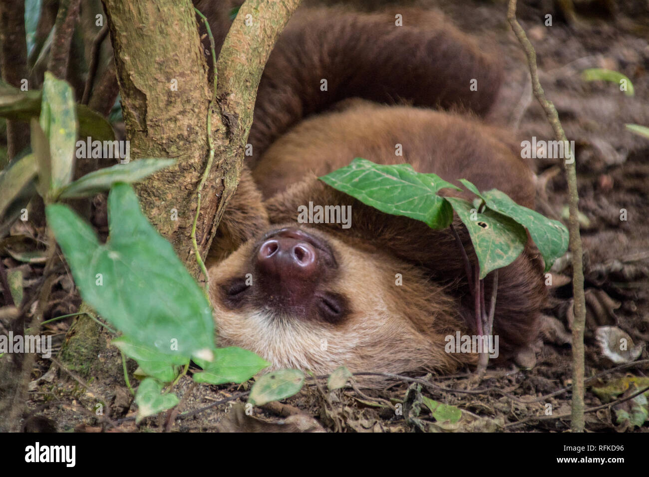 A nice portrait of a adorable rescued sloth sleeping on the ground under a tree. At Jaguar Rescue Center, Puerto Viejo, Costa Rica - Stock Image
