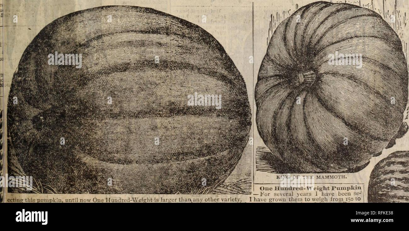 Légumes-Potiron-Hundredweight 30 graines