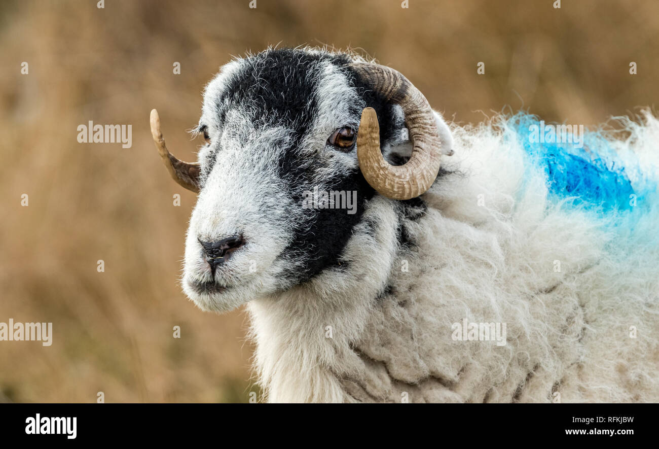 Swaledale Ewe in Winter. Open moorland hill farming in the Yorkshire Dales, England, UK.Swaledale sheep are a common breed of sheep in North Yorkshire - Stock Image