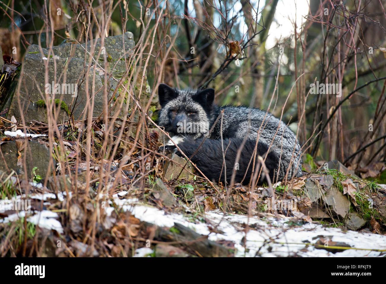 Captive silver fox (melanistic form of red fox - Vulpes vulpes) at Kroschel Films Wildlife Center near Haines AK - Stock Image