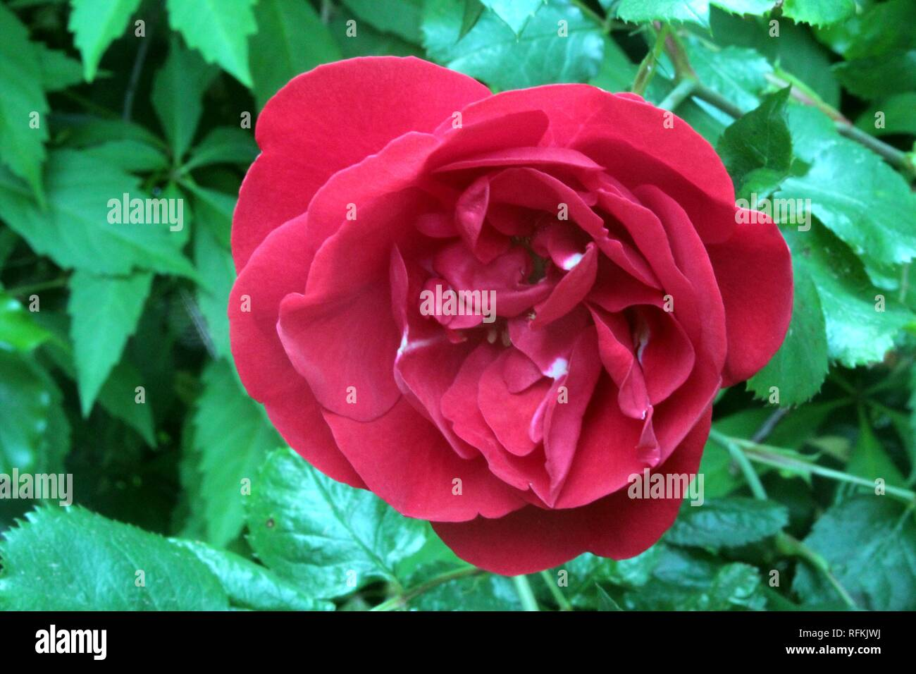 A red Flower of a Garden Rose - Stock Image