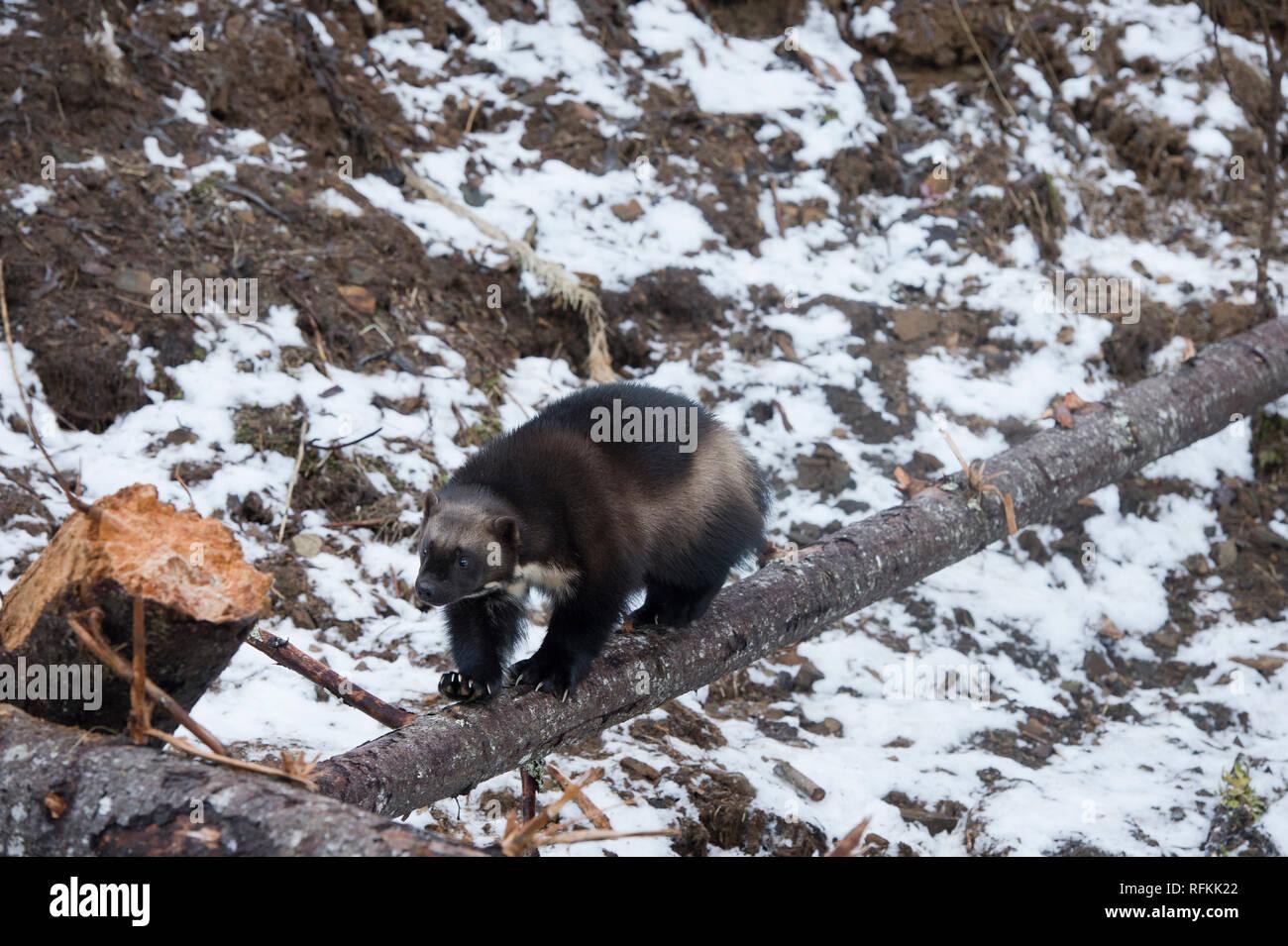 Captive wolverine walking on a log near Haines Alaska - Stock Image