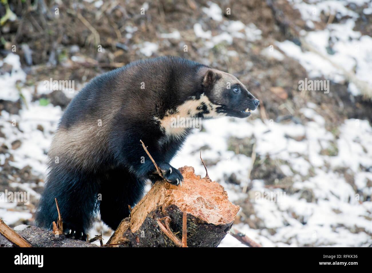 Captive wolverine - Stock Image