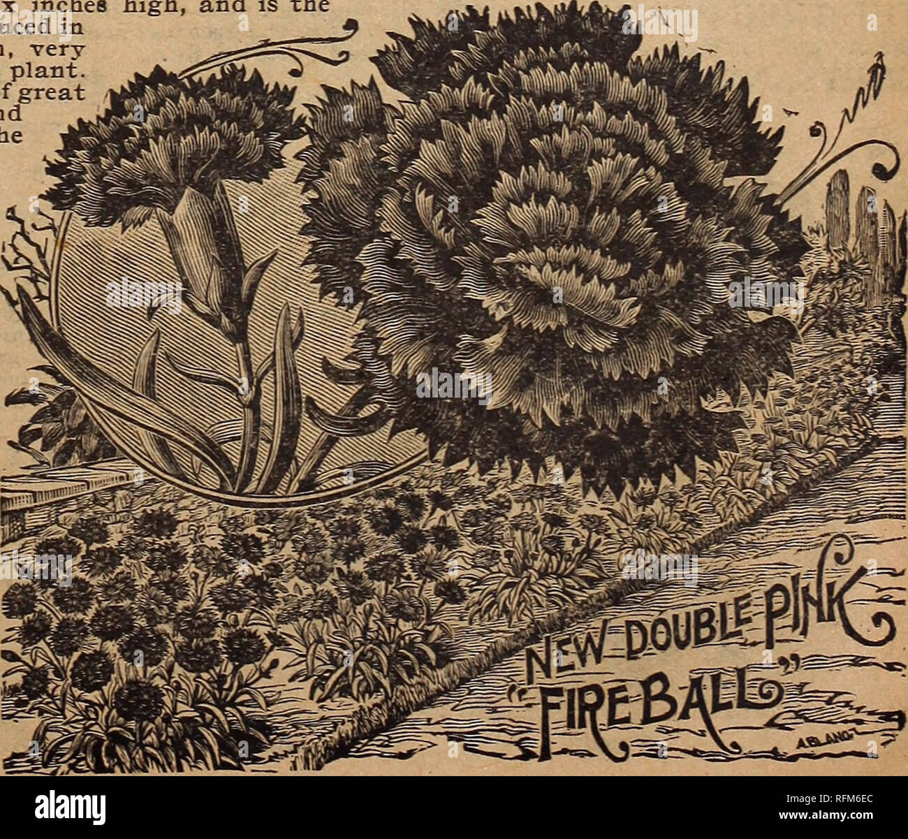 . Farm and floral guide. Nurseries (Horticulture) Minnesota Catalogs; Fruit Catalogs; Flower Seeds Catalogs; Plants, Ornamental Catalogs; Agricultural implements Catalogs. Eucharidium Breweri. Please note that these images are extracted from scanned page images that may have been digitally enhanced for readability - coloration and appearance of these illustrations may not perfectly resemble the original work.. L. L. May & Co; Henry G. Gilbert Nursery and Seed Trade Catalog Collection. St. Paul, Minn. : L. L. May & Co. Stock Photo