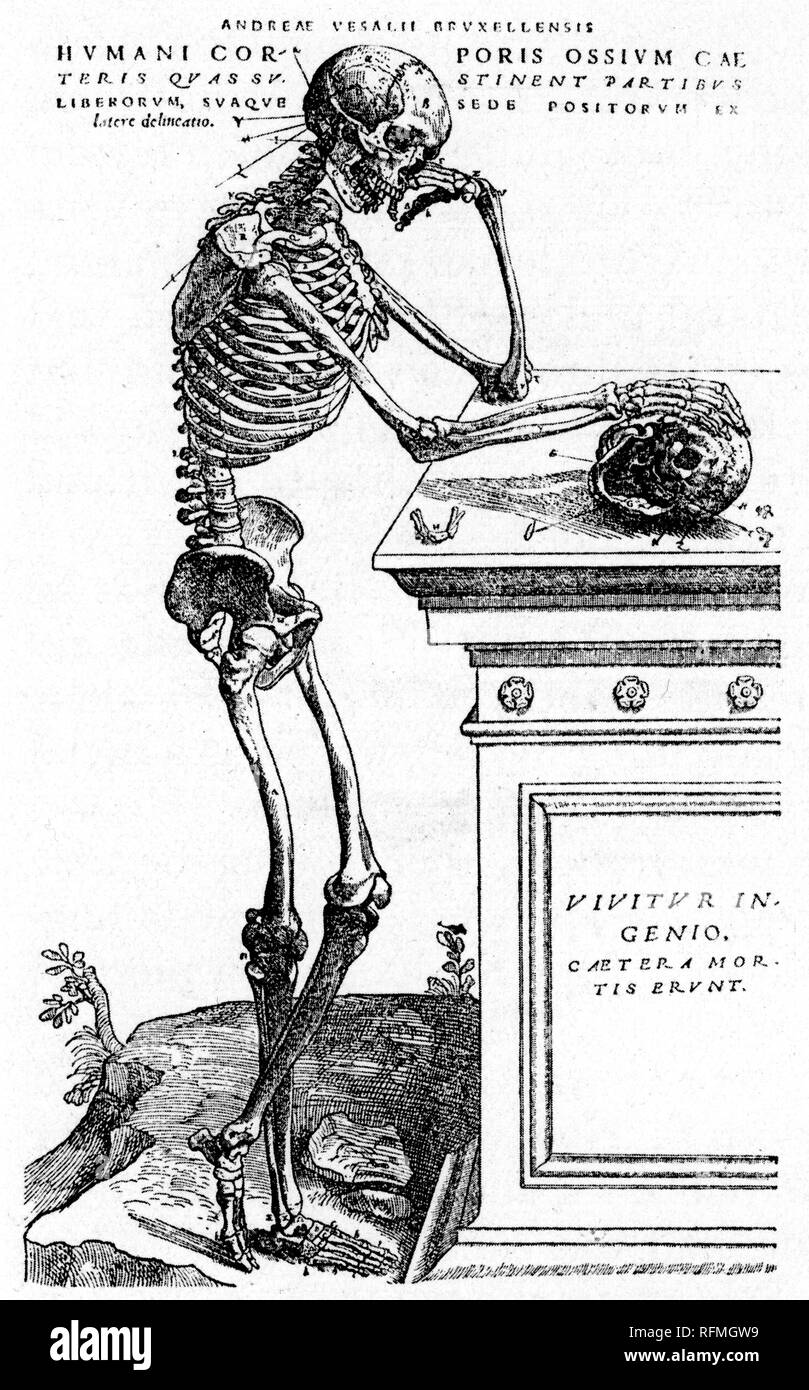 'The Skeleton Contemplates Mortality', 1543. A work by Andreas Vesalius (1514-64), 16th-century Flemish anatomist, physician, and author De Humani Corporis Fabrica (On the Fabric of the Human Body). - Stock Image
