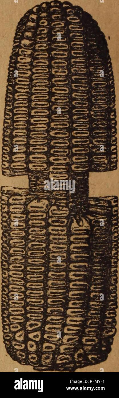 . Theo. Koss' seed catalogue for 1899 : the road to successful gardening. Nursery stock Wisconsin Catalogs; Vegetables Seeds Catalogs; Flowers Seeds Catalogs; Agricultural implements Catalogs. >4$rtoe o] tge yiortty. QtiU of tt}t Novtt). (£ine berühmte frü^e ©orte oon gelbem ^atjnforn. $je SBorpge bie= feg 2öelfcf)torng tonnen nict)t gewürbigt werben, beoor man aufmertfam ben großen Ertrag unb ben tleinen ^roeentfafe ber Kolben beim entförn* ten SRaig bemertt. £>er 5Bufd)el oon 70 pfunb Eef)ren wirb 60 big 65 ieg ift eine neue ©orte gelben Barmtorng, welche fnifoeitta reift, oon traf tig - Stock Image