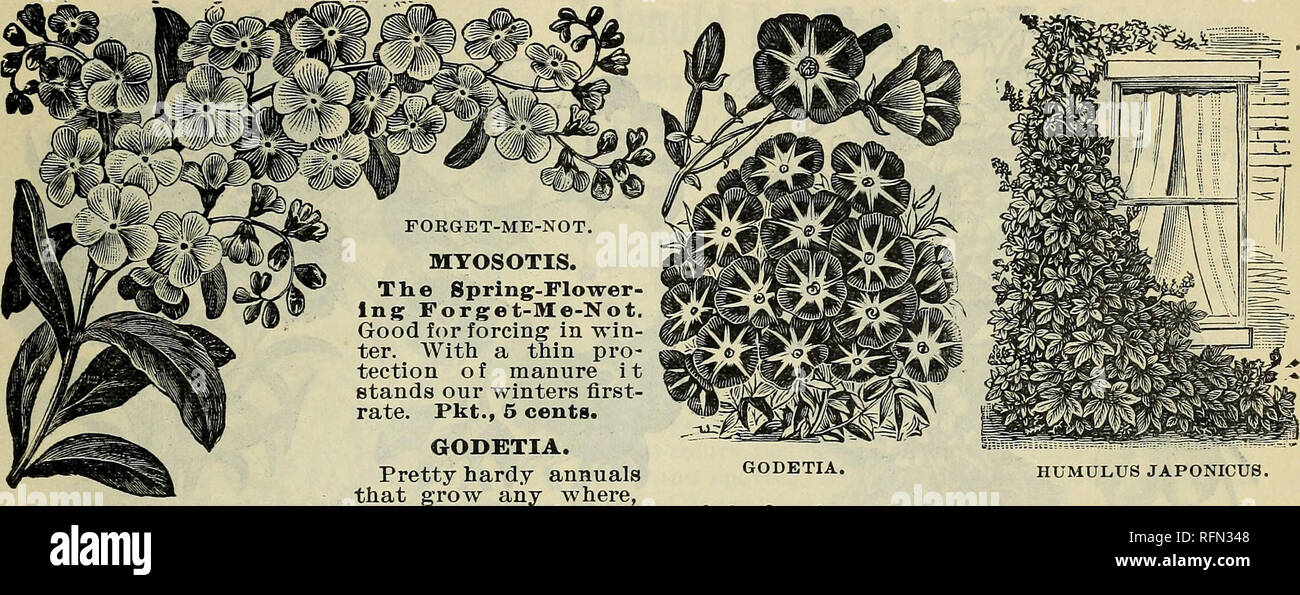""". New and rare plants, bulbs, fruits. Nursery stock New York (State) Catalogs; Vegetables Seeds Catalogs; Flowers Seeds Catalogs; Plants, Ornamental Catalogs; Fruit Catalogs. and bloom abundantly all season, admired for their fine large blossoms, deep rose color, pink snow-white, bright crimson and purple, Pkt., 3 cents. MABTEL OF PERU.—4'Four O'Clocks.""""—Old-fashioned, but none the less beautiful on that account. The flowers are funnel-shaped, white, red, and striped, very fragrant, and open about 4 o'clock in the afternoon (hence the name), remaining open all night, and generally perishi - Stock Image"""