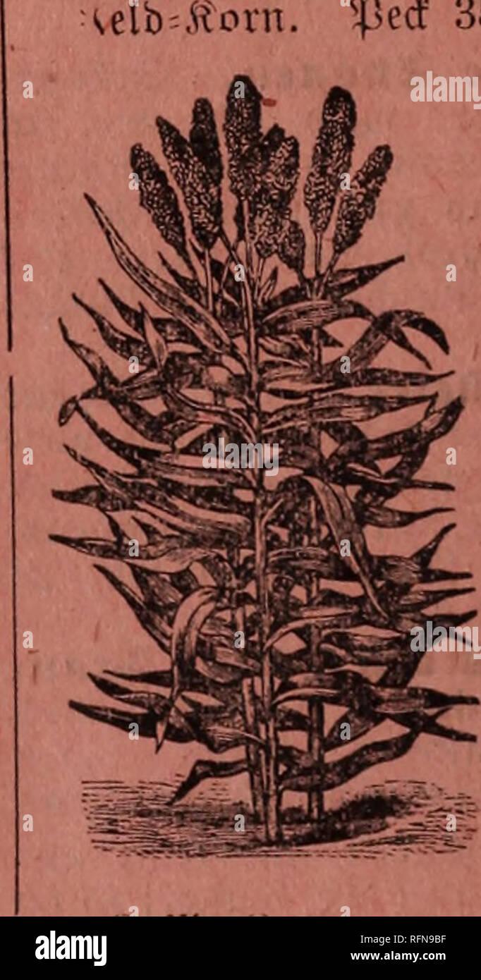. Koss' seed catalogue. Nursery stock Wisconsin Catalogs; Vegetables Seeds Catalogs; Flowers Seeds Catalogs. «Prtbe of tt)e ftortl). tf>e 9t0Vtt). (Sine ?« tco Iii »I §« ein P it fr ®oft ©otfceu ©cans tU-Dies ift ei-- ne neue ©o» te gelben 3aI)itfor u S loelctje früfii jeitig reift, üou fräftigem ii*ad)3= ttjum ift unb eine Jpöfje uou 8 bis 10 §ufj efi reicht. A a ft jeber ©tamni liefert jwei fdjöue, grofte 2te|rc|i uou ooUfoinniener aoviu 16 jfteifyen entfyalteub roeld)e bi§ jum (Srtbe beS ÄolbenS ausfüllen. £at einen Keinen Äolben, ift leicht enttörut, unb Übertrift alle Ruberen in ©rb'fc - Stock Image