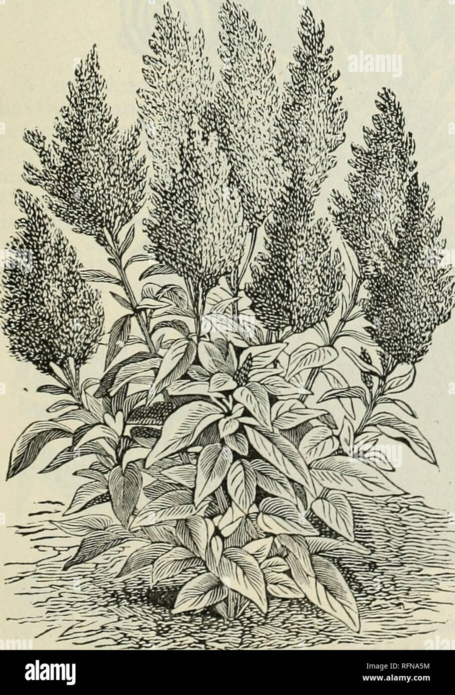 """. Annual descriptive catalogue : seeds. Vegetables Seeds Catalogs; Flowers Seeds Catalogs; Plants, Ornamental Catalogs; Gardening Equipment and supplies Catalogs; Commercial catalogs Connecticut New Haven. Carnation Marguerite. CASTOR OIL BEANS. (.s« /?«•«»«.) CELOSIA or COCKSCOMB.. Celosia Plumosa. A very desirable and showy plant, producing large combs of crimson or yellow flowers. The """" Plumosa """" sorts bear in the greatest profusion spikes of beautiful feather-like blossoms. The """" Cristata """" sorts are the well-known Cockscombs. CRISTATA, THE TRUE COCKSCOMB. Mixed. Includ - Stock Image"""