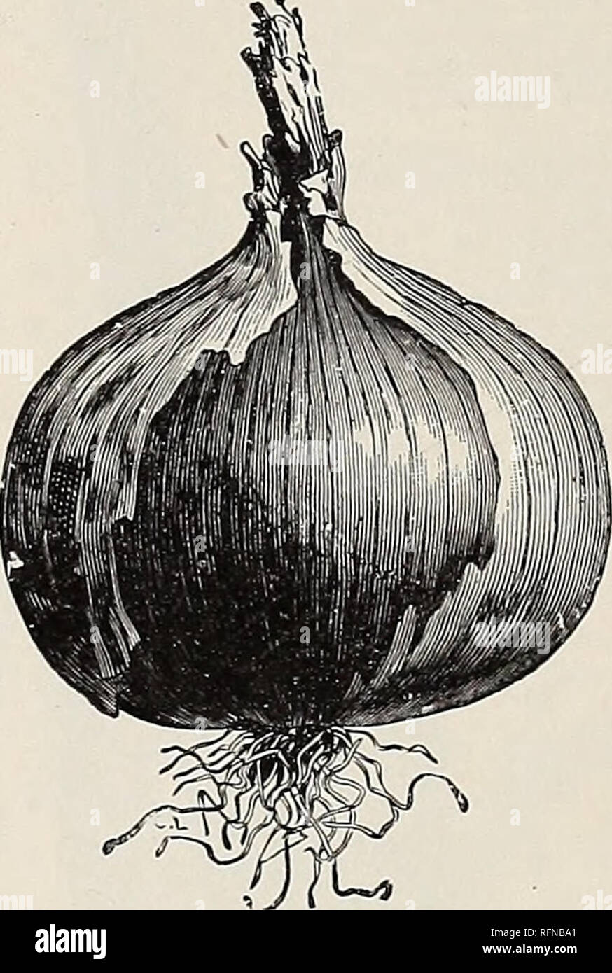Veitches Red Globe Vegetable Turnip 3000 Seeds