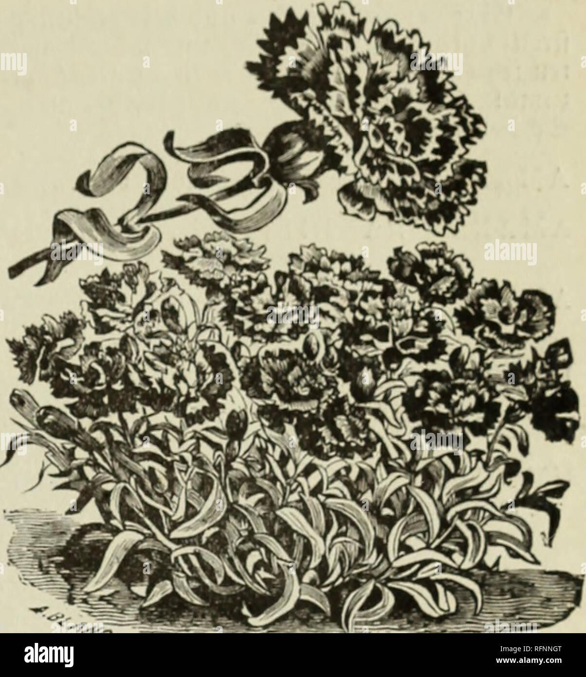 . Seeds. Nursery stock Wisconsin Milwaukee Catalogs; Vegetables Seeds Catalogs; Flowers Seeds Catalogs; Gardening Equipment and supplies Catalogs. SB. Daflttrtg'fl Somen ftntniog. 73. Gfyhtefemttlfe (DIANTHUS.) SDic Nrten bc§ $)iantl)u§ [tub al§ (S^iuefeueire unb japanefifd^c Welfe befauut nub geb,6ieu jtt ben btiQiatK teften ©mtenblumen. 28ei§ mit votb, gejiretft. sJt o t b, in i t to e i f3 g e ft r e i f t. $) u n f e l b i u t r o 11). (5 r t r a g e f ii 111 e, f d) 6 n g e ^ e i d) u e t, m e i   . $ev ^acfet 5c, llu$e 3()c gttoettrigisftelfett* (tftnfadK-) EASTERN QUEEN, feb,r ejjeftool Stock Photo