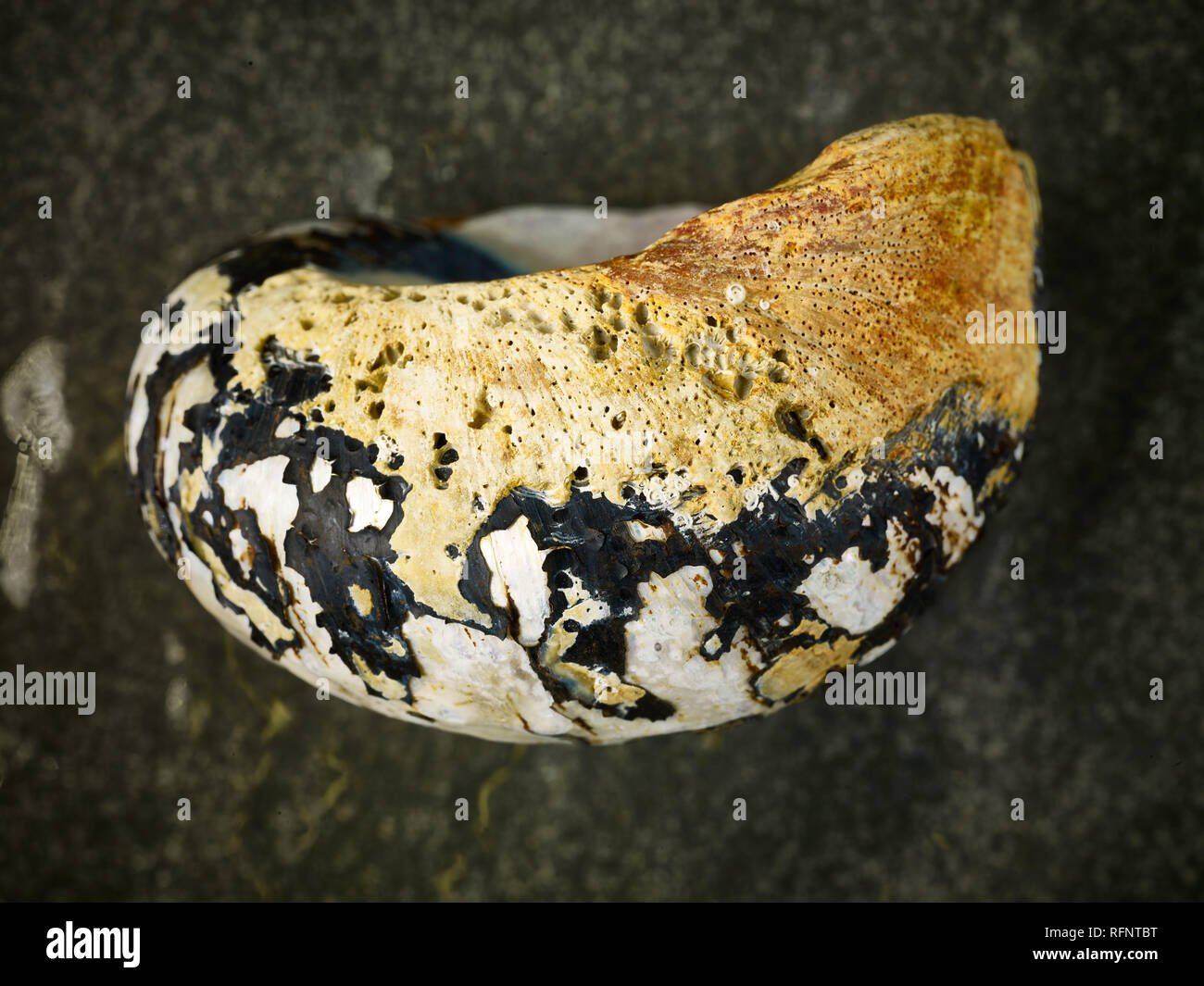 Colourful seashell still-life against dark background - Stock Image