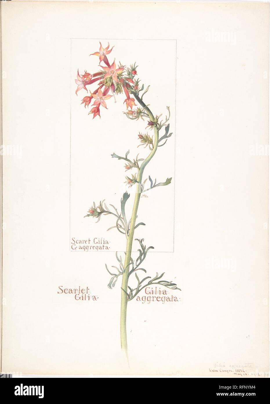Scarlet Gilia, Gilila aggregata , Margaret Neilson Armstrong.jpg - RFNYM4 1RFNYM4 - Stock Image
