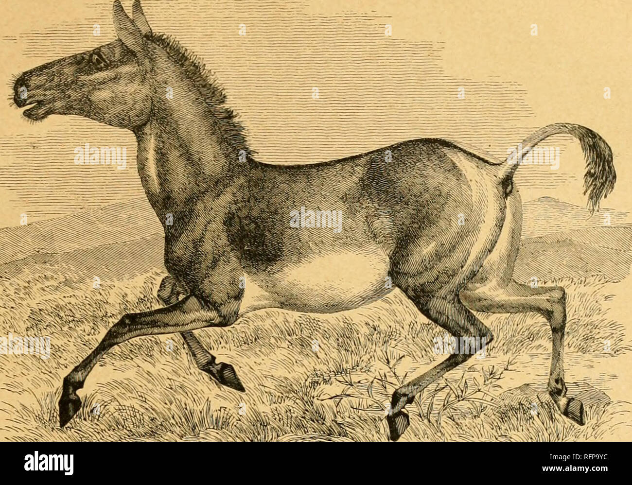 """. Cassell's natural history. Animals; Animal behavior. ^^'!?r'^T ORDER UNGULATA (HOOFED QUADRUPEDS). CHAPTER I. PERISSODACTYLA—THE EQUID.E, OR HORSE FAMILY. Order UNGULATA — Divisions — PERISSODACTYLA — Characteristics—Equid* — Species — Descent — First Domestic Horses in Europe—Used for Food- Mention of the Horse in the Bible—War-Chariots—the Horse among the Greeks and Romans—in Britain—Attempts to Improve the Breeil—Colour—Teeth—"""" The Mark """"—the Foot—Skull—Disease from the Gad-fly—Eace-Horse—Tkotting-Horse ok Asierica-Drav Horse—Shetland Pont—Arab and Bare- Persian Horse—Wild Horse - Stock Image"""