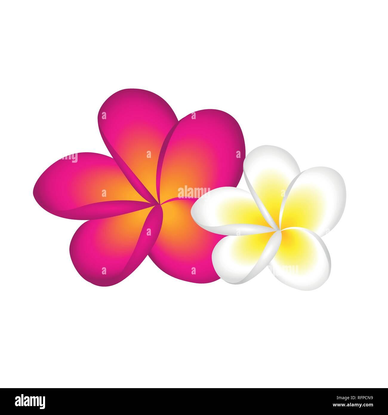 plumeria frangipani flower blossom white and pink vector illustration EPS10 - Stock Vector