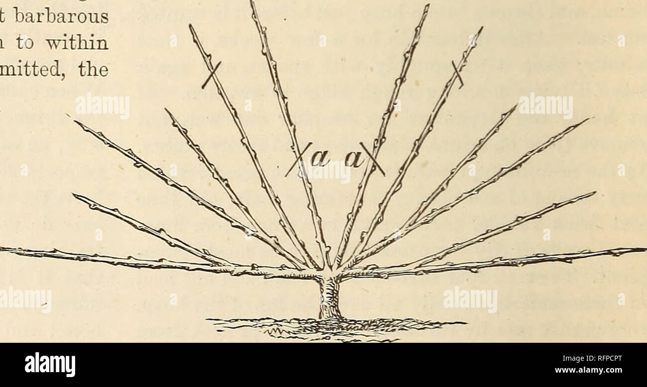 """. Cassell's popular gardening. Gardening. Fig. 7.—One-year Trained Tree. Fig. -Nursery Trained Tree. object being the production of an evenly-balanced growth of a leader and two side shoots. Disbudding, stopping, and training result in a """"one-year trained tree """" with three shoots (Fig. 7). Cutting back is again deferred until the spring, when each shoot, in continu- ance of a barbarous custom, is shortened to within a few inches of its base. By three strokes of the knife each shoot is maimed, and the foundation of gumming and premature decay is laid; but the operation leads Brompton. - Stock Image"""