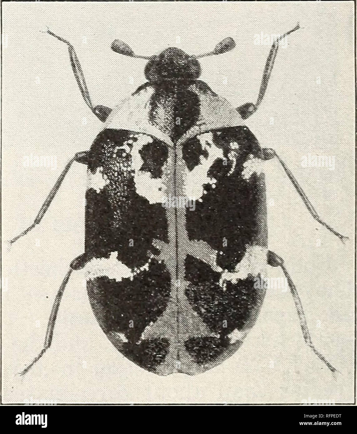 Adult of the black carpet bee- tle. FWrteen times natural size. Figure 4.—Adult of the common carpet beetle. Fourteen times natural size. much alike, ...