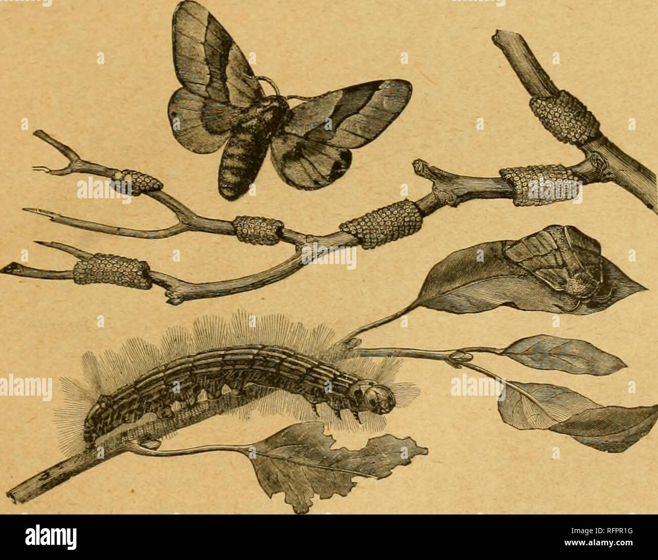 . Cassell's natural history. Animals; Animal behavior. SATVRXIA PVRI. line on thf back, and tin'} lie gregaiiouslj cxiuunon in many part-s of Engl.md, and tin liioad ring rouud a slender tvig The 2enzeridai are latl.ri large Moths, whose caterpiUai ^ feed oil wood, ijiside the flunks of trees, often causing eonsi dcrable damage. The Wood Leopard Moth {Zeuzera aictili) appears to be eommonei louiid London than elsewhere m Enu land. It is white, with nianj steel-blue spots on the wnigs and thoi-ax, and its caterpillai, which is yellow, with a black head, infests apple, ash, and othei trees. Th - Stock Image